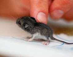 Teeny, fuzzy baby mouse.  Note its super long whiskers and tail, floppy ears, too-big pink feet, and fuzzy fur. Getting woogied.