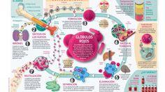 Así funcionan: los glóbulos rojos | Salud | Sportlife.es