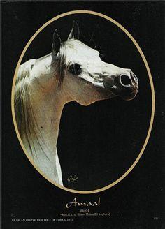 Amaal 1968-87 grey stallion (Morafic x Bint Maisa El Saghira) 1 | Flickr - Photo Sharing!