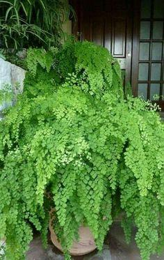 Indoor Garden, Indoor Plants, Outdoor Gardens, Patio Plants, Potted Plants, Fern Plant, Container Design, Shade Plants, Tropical Plants