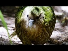 Kakapo, New Zealand, endangered