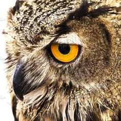 Closeup of a Royal owl by marquésPHOTOGRAPHY on @creativemarket