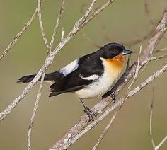 Birds of the World: White-rumped tanager
