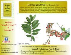 Redescubre este importante árbol perteneciente a la familia Meliaceae...