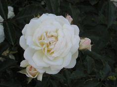 Ave Maria Czech Republic, Flowers, Plants, Plant, Royal Icing Flowers, Bohemia, Flower, Florals, Floral