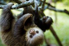 cute sloths | Mud, Sweat, & Mountaineers: