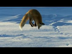 A red fox pinpoints field mice buried deep beneath the snow, using his sensitive hearing and the magnetic field of the North Pole to plot his trajectory. / also, the cutest thing.  Also, Tom Selleck
