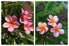 """Pink Rainbow"" plumeria.  Seeds for Spring 2017 planting season."