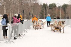Reindeer competition in Nallikari Winter Village.