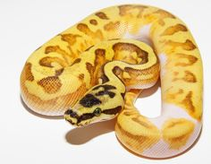 Pastel Super Enchi Yellow Belly Pied - Ghi Reptiles
