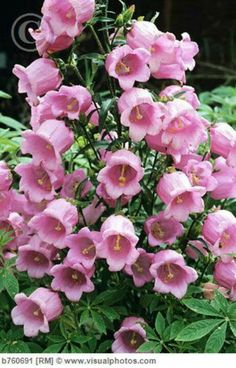 canterbury bells flowers | Pin it 3 Like 1 Image