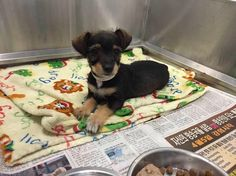 SUPER URGENT - INJURED PUPPY !!!!!!! - 8-week-old puppy at shelter with broken pelvis in need of rescue