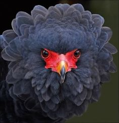 African eagle, Terathopius ecaudatus - The Bateleur eagle is the most famous of the snake eagles. Its pitch black feathers with white under the wings, bright red face and legs and black beak are characteristic markings. The female Bateleur eagles are larger than males.