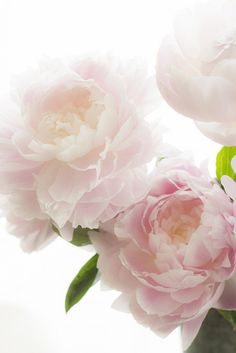 Pretty pale pink peonies