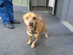 WOODY - URGENT - CITY OF LOS ANGELES SOUTH LA ANIMAL SHELTER in Los Angeles, CA - Adult Male Chihuahua