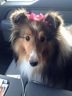 """Sheltie's """"look into your soul"""" look"""