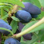 Honingbes DUET  De bessen zijn zoet tot zachtzuur en hebben (een beetje) het aroma van een blauwe bes. De plant is gemakkelijk in onderhoud; hij groeit op alle goed doorlatende gronden en heeft geen snoei of bemesting nodig. De plant wordt ongeveer 70cm. hoog en een meter breed. Pas wel op met plukken; de besjes zijn pas rijp als ze ook van binnen diepblauw zijn Een onrijpe bes is zeer bitter. Pluktijd: Mei, Juni  Smaak: Zoet, Zuur  Zelfbestuivend