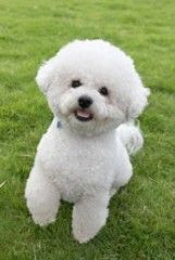 Bichon Frise Puppies. Ok. So maybe I'm a LIL partial to bichons since I have one. Lol