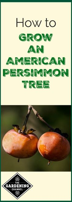 American persimmon trees are some of the easiest fruit trees to grow and maintain. However, they are not as easy to come by as other fruit trees. Search a few local nurseries or online.