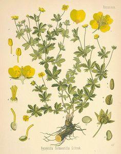 Tormentil: Potentilla Tormentilla (aka bloodroot, ewe daisy, five-finger, Shepherd's knot, English sarsparilla)