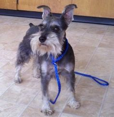 Jennie is an adoptable Schnauzer Dog in McMinnville, OR. Jennie came into our shelter as a stray. She was found cruising downtown McMinnville. She is darling!! She is completely house trained, good wi...