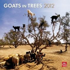 For @Heather Lutz...for shiz, Goats in trees. A must have this holiday season.
