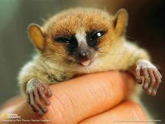 So cute! Tiny mouse lemur