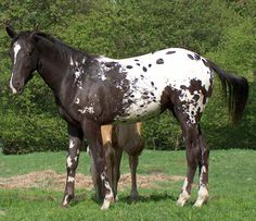 Appaloosa, large spotted 3/4 blanket~~