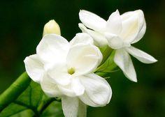 Maid of Orleans Jasmine