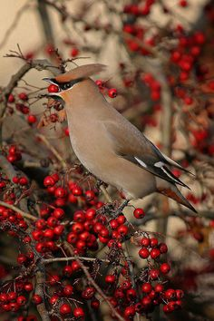 Cedar Waxwing on Winterberry: Winterberry (Ilex verticillata) is a deciduous version of holly. It loses its leaves in late fall, leaving behind dazzling sprays of lipstick-red berries. Most species of holly are either male or female, so you'll have to pair them up to get berries. Plant in spring or fall.