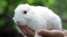Earless bunnies were born in Japan after the Fukushima Nuclear Disaster.