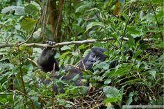 Jeune gorille de montagne,  famille Umubano. Rwanda Photo Thierry RIOLS