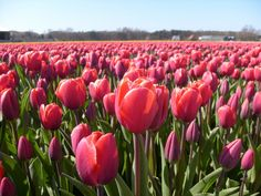 The World's Most Romantic Flower Fields