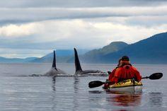 Orcas auf Vancouver Island vor Kajak