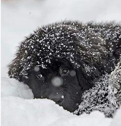 Newf in snow