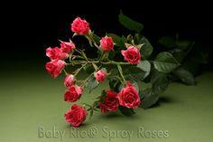 Baby Rio® PINK FLASH Spray Rose