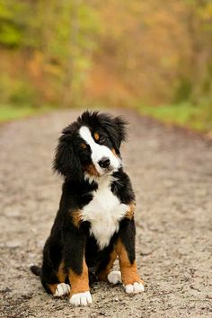 <3 Bernese Mountain Dog! Makes me think of Riley; my BMD mix.