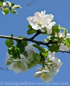 April in meinem Garten: blühende Rosengewächse in Pink und Weiss