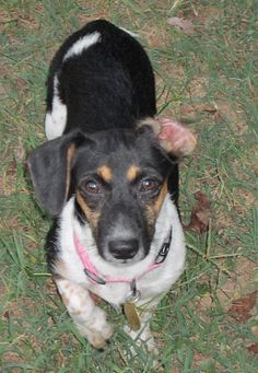 Darla- VA. Female Dachshund available for adoption with Furever Dachshund Rescue.