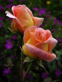 Rose Garden Peach and Yellow Roses Amazing Flowers, Beautiful Roses, Beautiful Gardens, Beautiful Flowers, Exotic Flowers, Purple Flowers, Beautiful Things, Bloom, Yellow Roses