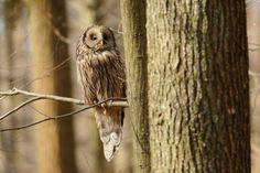 Ural Owl (Strix uralensis). Photo by Piotr Bednarek.