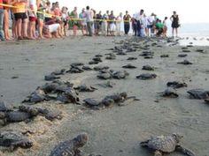 Una de las mayores atracciones de la #RivieraNayarit es la liberación de tortugas, ya que miles de tortugas golfinas que nacen en las playas de esta región, regresan cada año a construir sus nidos y dejar sus huevos para perpetuar el ciclo de la vida. #BestDay #OjalaEstuvierasAqui