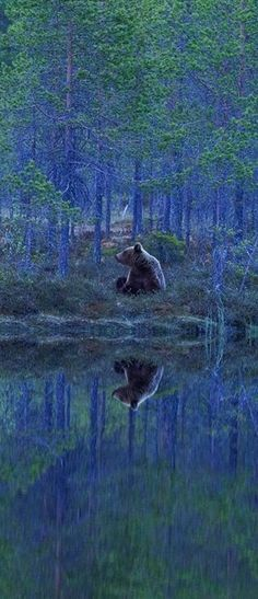 Bear Reflection in Finland. Photograph by Sylwia Domaradzka. ✿ڿڰۣ Bear Reflection in Finland. Photograph by Sylwia Domaradzka. Wild Life, Beautiful Creatures, Animals Beautiful, Cute Animals, Water Reflections, Reflection In Water, Mundo Animal, Fauna, Belle Photo