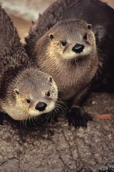 There have Sea Otters, River Otters and Lil Otters. There are all lovely & cute. Animals And Pets, Baby Animals, Funny Animals, Cute Animals, Baby Giraffes, Wild Animals, Otters Cute, Baby Otters, River Otter