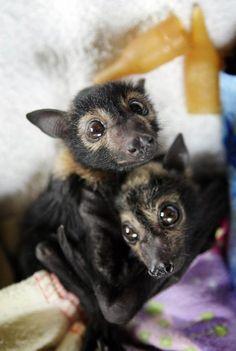 rescued baaaaaby flying fox bats from the bat sanctuary in texas