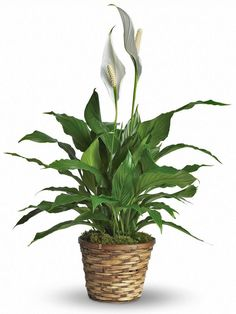 Peace Lily - For filtering air esp. in the bathroom peace-lily. Father's Day Flowers, Winter Flowers, Order Flowers, Flowers Online, Small Potted Plants, Leafy Plants, Best Indoor Plants, Indoor Garden, Green Plants