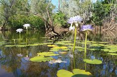 Beautiful water-lillies pond.