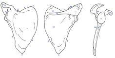 http://cephalicvein.com/wp-content/uploads/2016/08/scapula-anatomy-6-best-images-of-blank-scapula-diagram-scapula-bone-anatomy.jpg