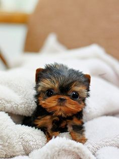 micro teacup yorkie puppy - / - - Bookmark Your Local 14 day Weather FREE >… Small Puppies, Cute Puppies, Dogs And Puppies, Tiny Puppies For Sale, Cute Teacup Puppies, Little Puppies, Baby Dogs, Micro Teacup Yorkie, Teacup Dogs