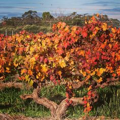 Last day of Autumn here in the Barossa, pruning is underway and these amazing old vines are due for another loving haircut soon... #Barossa #BarossaDirt #Autumn #Fall #edenvalley #henschke #grapevine #winery  #vineyard #BarossaOldVines